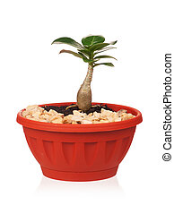 Adenium obesum in the flowerpot isolated on white background