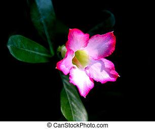 Adenium obesum - pink Impala Lily, Desert Rose was beautiful...