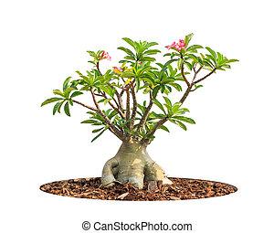 Adenium obesum tree also known as Desert Rose, Impala Lily, ...