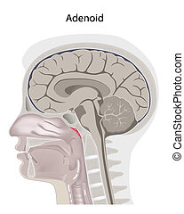 Adenoid , eps8 - Adenoid location in the head, eps8