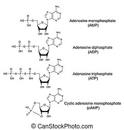 Structural chemical formulas of adenosine phosphates (adenosine monophosphate, adenosine diphosphate, adenosine triphosphate, cyclic adenosine monophosphate), 2D illustration, vector, isolated on white