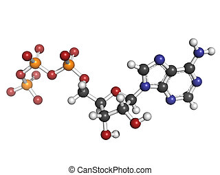 Adenosine triphosphate (ATP) energy transport molecule, chemical structure. ATP is the main energy transport molecule in most organisms. Atoms are represented as spheres with conventional color coding: hydrogen (white), carbon (grey), oxygen (red), nitrogen (blue), phosphorus (orange)