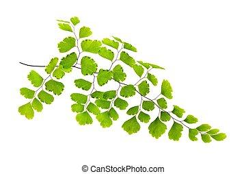 Adiamtum capillus Veneris - Maidenhair branch isolated on ...