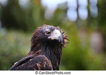 Adlerkopf - Adler Flugschau