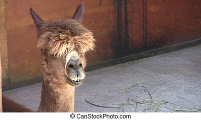 Adolescent Alpaca Chewing - Close-up of cute adolescent...