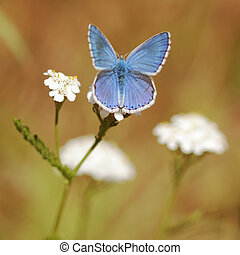 Adonis Blue Butterfly Macro