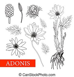 Adonis. Botanical illustration. folk medicine, treatment, aromatherapy, packaging design, field bouquet. Medicinal plants. Coloring book Antistress. Vector illustration isolated on a white background.