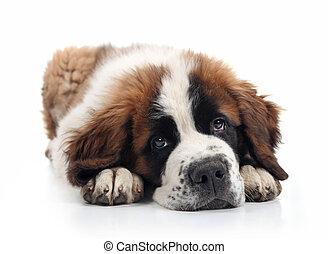 adorável, bernard santo, filhote cachorro, deitando-se