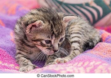 adorável, tabby, sonolento, gatinho