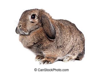 adorabile, coniglio, isolato, bianco