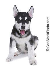Adorable Alaskan Malamute Puppy on White Background in Studio
