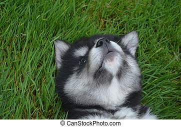 Adorable Alusky Puppy Howling On His Back