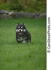 Adorable Alusky puppy running in a field of grass