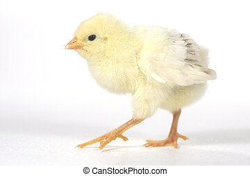 Adorable Baby Chick Chicken on White Background - Cute Baby...