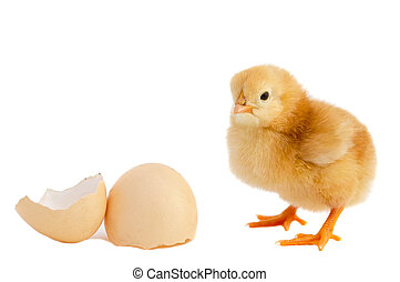 Adorable baby chick - A baby chick over a white background