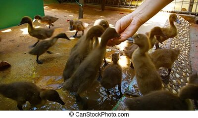 Video UltraHD - Tourist feeding and petting a group of baby ducks at the interactive exhibit of a popular public zoo.