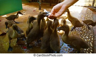 Adorable Baby Ducks at a Popular Zoo's Interactive Exhibit