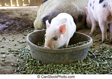 Adorable baby piglet playing in his bowl of food