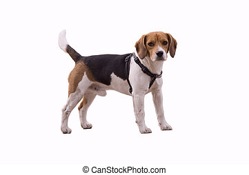 Amazing Small Leg Beagle Adorable Dog - adorable-beagle-lovely-and-cute-small-beagle-dog-isolated-on-white-pictures_csp3426868  Snapshot_872542  .jpg