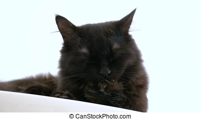 Adorable big black maine coon cat licking his paw