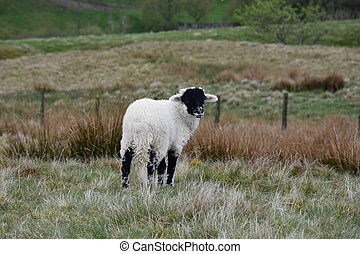 Adorable Black Faced Lamb Standing in the Dales
