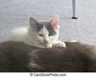 adorable, blanc, somnolent, chaton