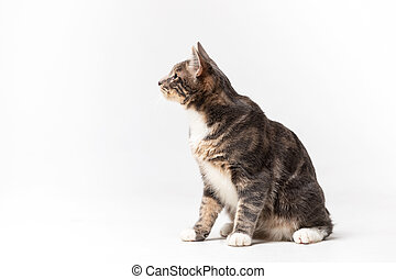Adorable bobtail cat isolated on white background