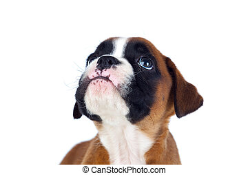 Adorable boxer puppy looking up