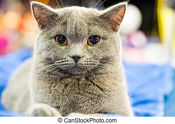 Adorable britan gray cat with orange eyes sitting and looking at camera