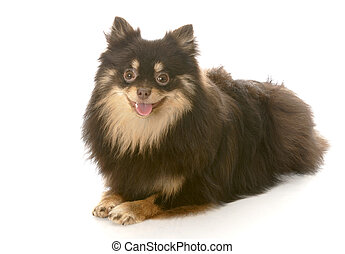 pomeranian puppy laying down - adorable brown and tan ...