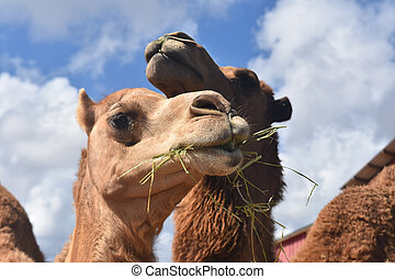 Adorable Camels Eating Together - Beautiful Camels Eating ...