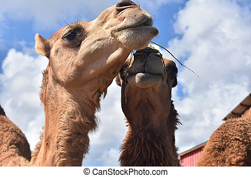 Adorable Camels Trying to Eat Together - Super Cute Camels ...