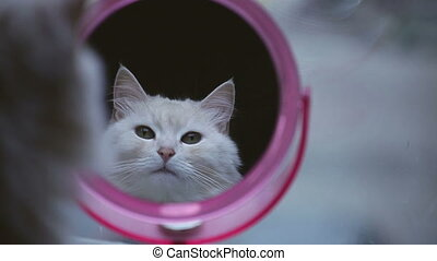 cat looking at reflection in mirror