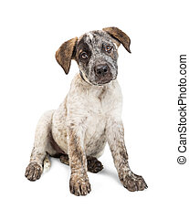 Adorable Cattle Dog Puppy Sitting on White