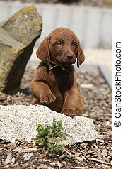 Adorable chesapeake bay retriever puppy on stone - Adorable...