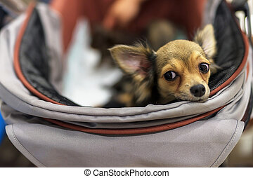 Adorable chihuahua dog with curious emotion