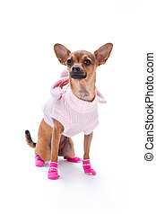 Adorable chihuahua in pink clothes.
