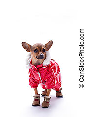 Adorable chihuahua in red suit.