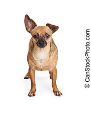 Adorable Chihuahua Mix Breed Dog Standing - An adorable...
