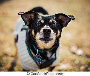 Adorable Chihuahua pet portrait