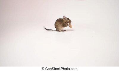 Adorable chilean degu squirrel devouring a peanut - Adorable...