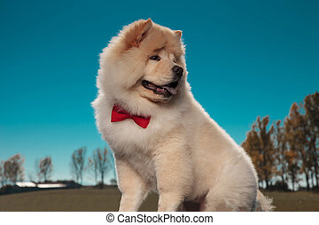 adorable chow chow puppy dog looks back over its shoulder