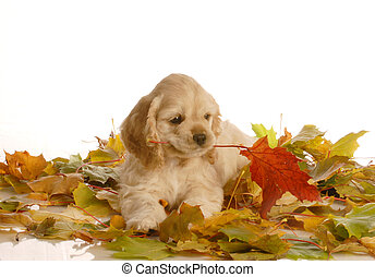 adorable cocker spaniel puppy playing in colorful autumn leaves - 7 weeks old
