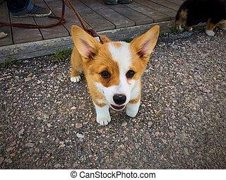 Adorable Corgi puppy looking into camera.
