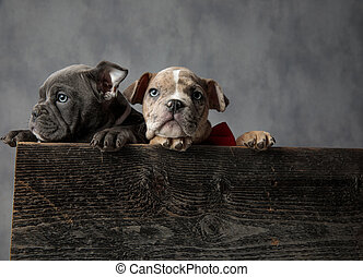 adorable couple of american bully puppies in a wooden box