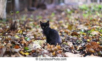 Adorable cute black kitten resting licking paw on fallen autumn leaves in the park and looking at the camera