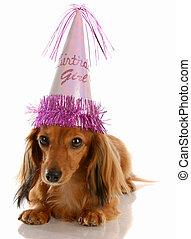 adorable dachshund wearing birthday girl hat on white background