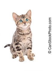 adorable, de ojos azules, gatito, sentado, blanco