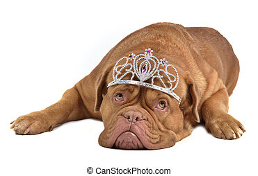 Adorable dog with diadem