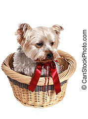 adorable doggy - Adorable little doggy in a wicker basket